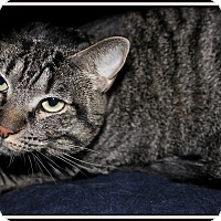 Domestic Shorthair Cat for adoption in Glendale, Arizona - Layla