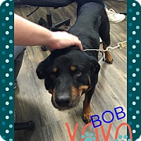 Adopt A Pet :: Bob - Gilbert, AZ