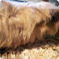 Adopt A Pet :: Gismo - Simcoe, ON