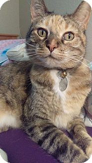 Domestic Shorthair Cat for adoption in Reno, Nevada - Marble
