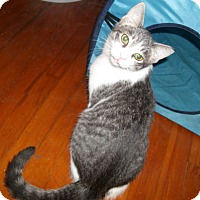 Domestic Shorthair Kitten for adoption in Lombard, Illinois - Beaver
