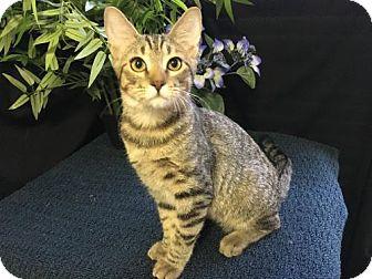 Domestic Shorthair Kitten for adoption in Fayetteville, Georgia - Baker