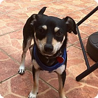Dachshund/Chihuahua Mix Dog for adoption in Hialeah, Florida - Max