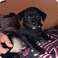 Terrier (Unknown Type, Small) Mix Puppy for adoption in Oakley, California - Zurg