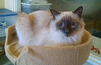 Siamese Cat for adoption in Scottsdale, Arizona - Mikado *special need*