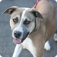 Adopt A Pet :: Sugar - Canoga Park, CA