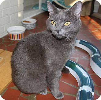 Domestic Shorthair Cat for adoption in Youngsville, North Carolina - Violet Bloom: (She has a sponsor. Adoption fee waived.)