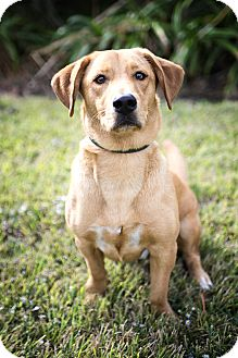 Labrador Retriever/Basset Hound Mix Dog for adoption in Vancouver, British Columbia - Buddy