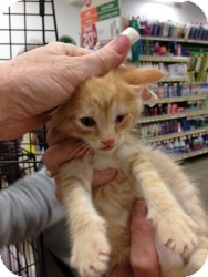 Domestic Shorthair Kitten for adoption in Fort Lauderdale, Florida - Blake