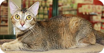 Abyssinian Cat for adoption in Phoenix, Arizona - Biscuit