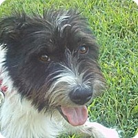 Adopt A Pet :: Pippa (in New England - Urgent - Brattleboro, VT