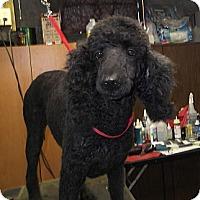 Adopt A Pet :: Uma ADOPTED! - moscow mills, MO