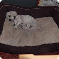Adopt A Pet :: Suri - West Deptford, NJ