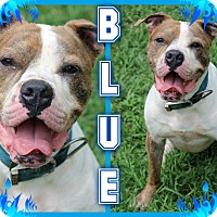 Adopt A Pet :: Blue - Tampa, FL