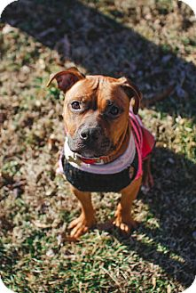 Boxer Mix Dog for adoption in Prospect,, Kentucky - Kate