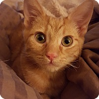 Domestic Shorthair Cat for adoption in Monrovia, California - Rusty