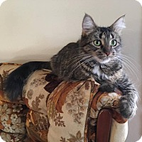 Domestic Mediumhair Cat for adoption in Davison, Michigan - Cammy