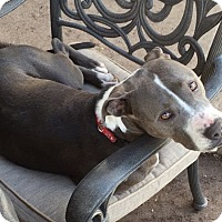 Adopt A Pet :: Missy - Fort Collins, CO