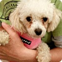 Adopt A Pet :: Princess-ADOPTION PENDING - Boulder, CO