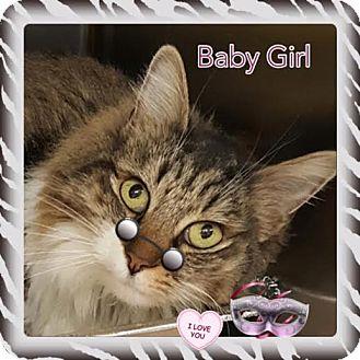 Maine Coon Cat for adoption in Harrisburg, North Carolina - Baby Girl