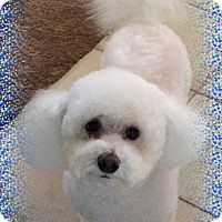 Bichon Frise Dog for adoption in Tulsa, Oklahoma - Adopted!!Milo - OK