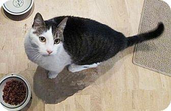 Domestic Shorthair Cat for adoption in N. Billerica, Massachusetts - Louie