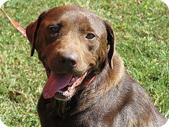 Labrador Retriever Dog for adoption in Purcellville, Virginia - Tansy