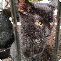 Adopt A Pet :: Domino - Edgewater, NJ