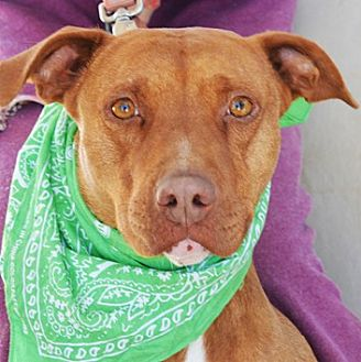 Pit Bull Terrier Mix Dog for adoption in Littlerock, California - Tawny