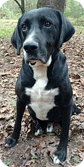 Labrador Retriever Mix Dog for adoption in Capon Bridge, West Virginia - Sarge-Very Special