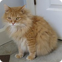Maine Coon Cat for adoption in Mobile, Alabama - Leo