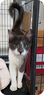 Domestic Shorthair Kitten for adoption in Fallbrook, California - Beanie
