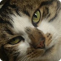 Domestic Shorthair Cat for adoption in Salem, Oregon - Buddy
