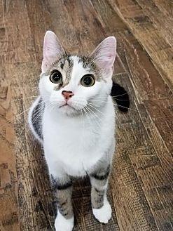 Domestic Shorthair Kitten for adoption in Edmond, Oklahoma - Dr. McMittens