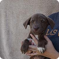 Adopt A Pet :: Chopper - Oviedo, FL