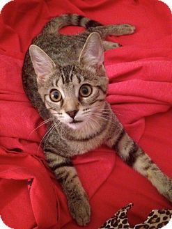 Domestic Shorthair Kitten for adoption in Raritan, New Jersey - Frisky
