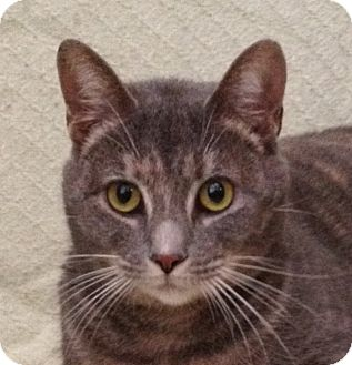Manx Cat for adoption in Simpsonville, South Carolina - Renea