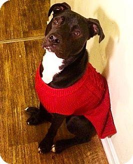 Labrador Retriever Mix Dog for adoption in North Wales, Pennsylvania - Bentley