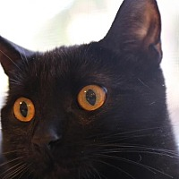 Domestic Shorthair Cat for adoption in Chino, California - Tess