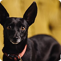 Adopt A Pet :: Camille - Portland, OR