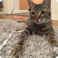 Domestic Shorthair Cat for adoption in Los Angeles, California - Kote (bonded to Auri)