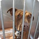 Adopt A Pet :: Sable - Henderson, NC