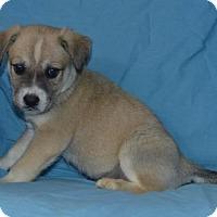 Adopt A Pet :: Blue Blood: Henry - Palo Alto, CA