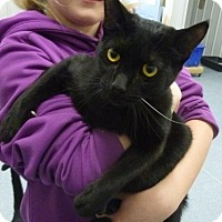 Domestic Shorthair Cat for adoption in Buffalo, Wyoming - Lushia