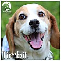 Adopt A Pet :: Timbit - Novi, MI