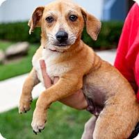 Adopt A Pet :: Star Trek Puppies - Male - San Diego, CA