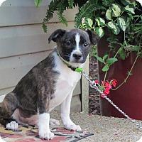 Adopt A Pet :: SPENCER - Hartford, CT