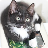 Adopt A Pet :: Cookie Cat - Brooklyn, NY