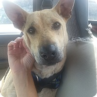 Australian Kelpie/Shepherd (Unknown Type) Mix Dog for adoption in Phoenix, Arizona - Noodle