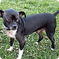 Adopt A Pet :: Bruno - Oakley, CA